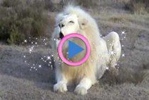 leone bianco adulto