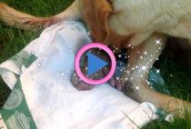 nascita labrador