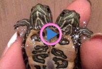 tartarughe di terra siamesi