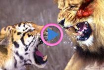 tigre vs leone